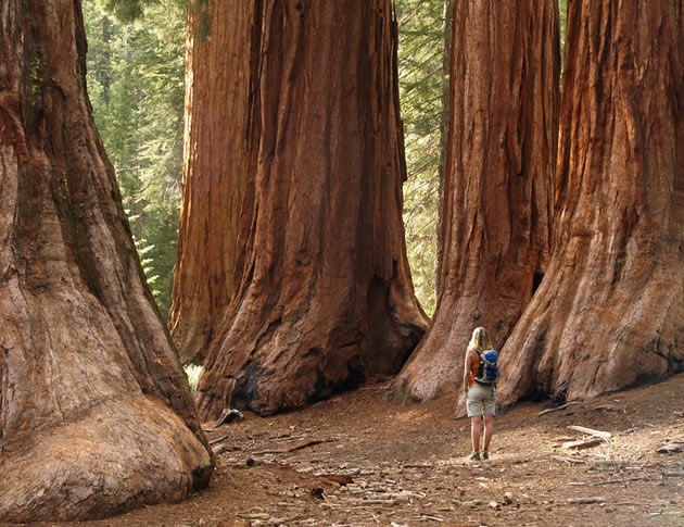 Giant trees in California